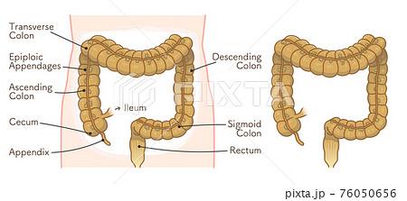 colon illustration 76050656