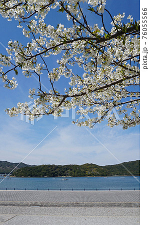ウチノ海公園に咲く大島桜(徳島県鳴門市) 76055566