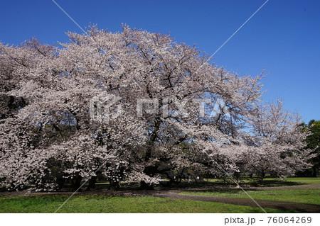 3月 世田谷849砧公園の桜並木 76064269
