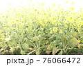 霧の菜の花畑 菜の花 早春の風景  76066472