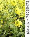 菜の花 なぎさ公園 早春の風景  76066473