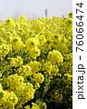 霧の菜の花畑 菜の花 早春の風景  76066474