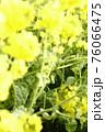 菜の花 なぎさ公園 早春の風景  76066475