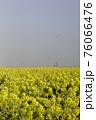 霧の菜の花畑 菜の花 早春の風景  76066476