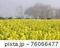 霧の菜の花畑 菜の花 早春の風景  76066477