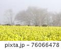 霧の菜の花畑 菜の花 早春の風景  76066478