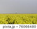 霧の菜の花畑 菜の花 早春の風景  76066480