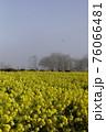 霧の菜の花畑 菜の花 早春の風景  76066481