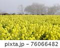 霧の菜の花畑 菜の花 早春の風景  76066482