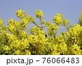 菜の花 なぎさ公園 早春の風景  76066483
