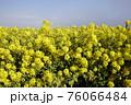 菜の花 なぎさ公園 早春の風景  76066484