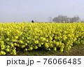 霧の菜の花畑 菜の花 早春の風景  76066485