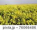 霧の菜の花畑 菜の花 早春の風景  76066486