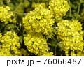 菜の花 なぎさ公園 早春の風景  76066487