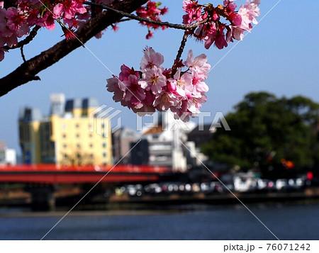 川沿いの雪割桜(サクラと天神大橋と潮江八幡宮の鎮守の森) 76071242