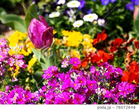 春の公園に咲いた花々(群生する赤紫色のサクラソウなど) 76072648