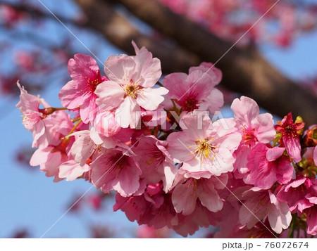 春空と川沿いの雪割桜 76072674