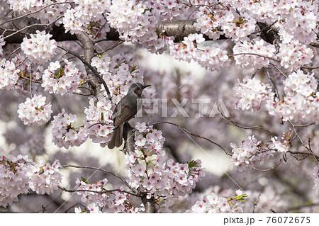 桜の花の蜜を吸いに来たヒヨドリ 東京 76072675