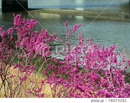 鏡川南岸の春(川岸のハナズオウ) 76073281