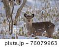 エゾシカ 冬 雪 76079963