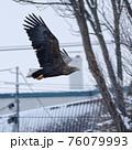 オジロワシ 飛翔 市街地 冬 雪 76079993