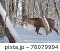 エゾシカ 冬 雪 76079994