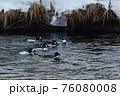 ホオジロガモ 群れ 川 冬 76080008