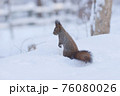 エゾリス 冬 雪 76080026