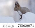 エゾリス 冬 雪 76080071