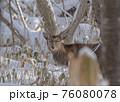 エゾシカ 冬 雪 76080078