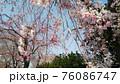 しだれ桜 76086747