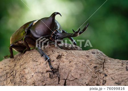 森で木にしがみ付くオスのカブトム 76099816