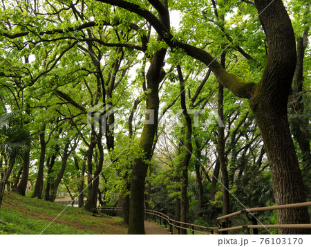 森林の中で青々と芽吹きだした初夏の新緑 76103170