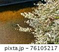川辺に咲いた雪柳をクローズアップした春の風景 76105217