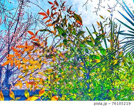 赤や緑の色鮮やかな南天の葉をクローズアップした風景 76105219