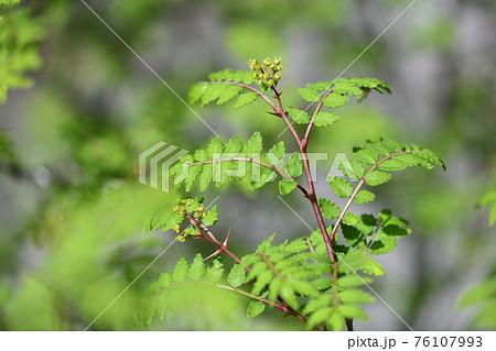 サンショウ(山椒)の若葉と雌花 76107993