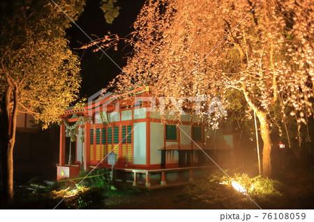 3月末の稲荷神社の夜桜(雨の日のライトアップで幻想的な光景)ー 社殿と黄金に輝く枝垂桜 76108059