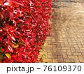 道端に生い茂る赤く色付いたベニカナメモチをクローズアップした春の風景 76109370