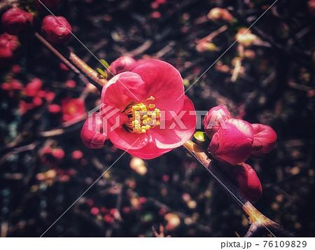 一輪の赤い草木瓜をクローズアップした春の風景 76109829