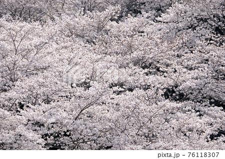 春イメージ 桜 76118307
