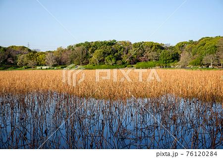 快晴の青空の下、早春の冬枯れした蓮池と緑の木々 76120284