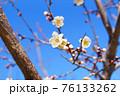 白梅の花と青空 76133262