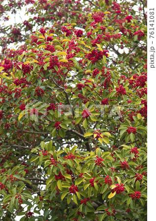 クロガネモチの木が赤い実を付けています。学名はIlex rotundaです。 76141081