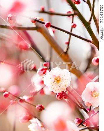 春の訪れ 早春に咲く清楚な紅梅 76145739