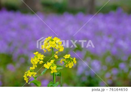 3月 仏の座の紫を背景にした菜の花 76164650