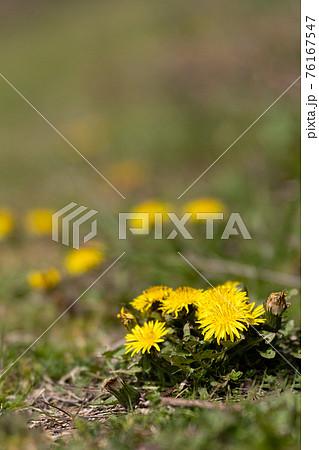 春の野原のタンポポ 76167547