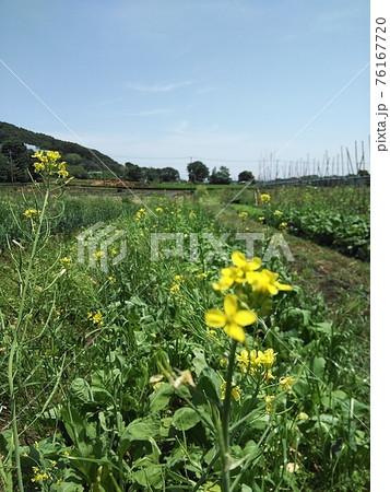 菜の花と山間部にある自然農法の農場 76167720