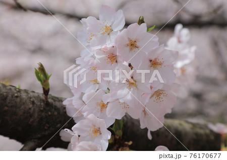 桜の花びら 76170677