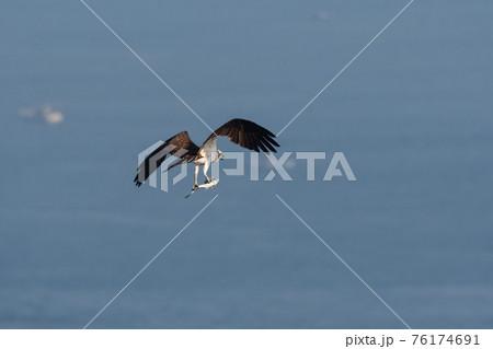 春、魚をがっちり掴んで飛ぶミサゴ 76174691