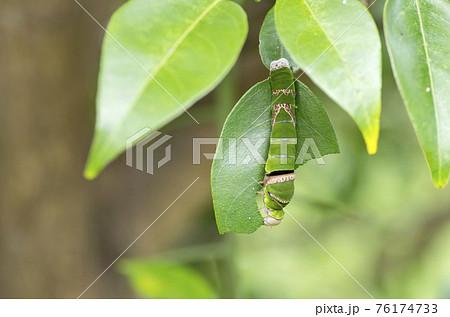 クロアゲハの幼虫 76174733